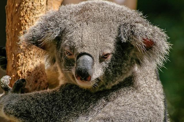 koala na stromě.jpg